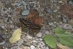 Nymphalidae - Limenitidinae - Lexias pardalis - Femelle - 80 mm envergure - Talipanan - Mindoro - 14.10.15