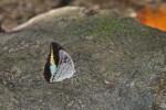 Nymphalidae - Tanaecia - Tanaecia calliphorus - 65 mm envergure - Talipanan - 14.10.15
