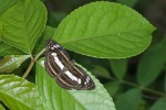 Nymphalidae - Nymphalinae - Tarattia gutama - 55 mm envergure - Talipanan - Mindoro - 19.10.15