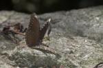 Nymphalidae - Nymphalidae - Hypolimnas anomala - 70 mm envergure - Talipanan - Mindoro - 19.10.15