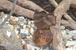 Nymphalidae - Nymphalinae - Rhinopalpa polynice - 60 mm envergure - Talipanan - 19.10.15
