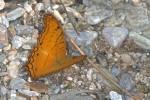 Nymphalidae - Heliconiinae - Vindula dejone - 70 mm envergure - Talipanan - Mindoro - 19.10.15