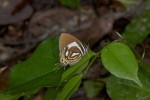 Lycaenidae - Horaga lefebverei -  Mâle - 35 mm envergure - Talipanan - 19.10.15