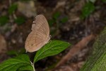 Nymphalidae - Morphinae - Faunis phaon - Mâle - 50 mm envergure - Talipanan - Mindoro - 19.10.15