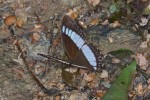 Nymphalidae - Satyrinae - Zethera pimplea - 50 mm envergure - Talipanan - Mindoro - 21.10.15