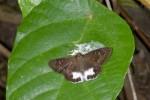 Hesperiidae - Tagiadies trebellius - 30 mm envergure - Talipanan - Mindoro - 22.10.15