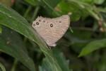 Nymphalidae - Satyrinae - Melannitis leda - 50 mm envergure - Talipanan - Ile de Mindoro - 22.10.15