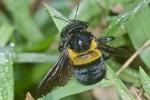 Apilidae  - 25 mm - Lucena - 25.10.15