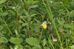 Pieridae - Cepora - Cepora aspasia - 25 mm envergure - Lucena - 3.11.15