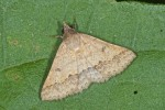 Noctuidae - Gesonia sp - 20 mm env - Lucena - 29.10.15