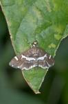 Crambidae - Pyraustinae - Spoladea recurvalis - 20 mm env ? - Lucena - 29.10.15
