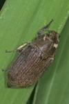 Melolontidae  - 19 mm - Bulusan - 7.11.15