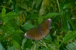 Nymphalidae - Nymphalinae - Hypolimnas anomala - 80 mm envergure - Bulusan lake - 8.11.15