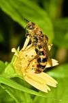 Scoliidae - Phalerimeris aurentula probable - 20 mm environ - Bulusan lake - 10.11.15
