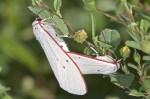 Erebidae - Arctiinae - Aloa sp - 25 mm long - Puraran - Ile de Catanduanes - 19.11.15