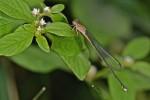 Odonata - 50 à 55 mm - Lucena - 20.12.13