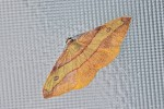 Geometridae - Ennominae - Hypochrosis hyadaria - 30 mm envergure - Hung Duan - 9.12.12
