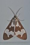 Erebidae - Nyctemera - Nyctemera lustuosa - Hung Duan - 9.12.12