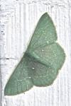 Geometridae - Geometrinae - Orothalassodes sp - 27 mm envergure - Hung Duan - 9.12.12