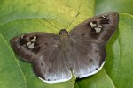 Hesperiidae - Tagiades - Tagiades japetus - 40 mm envergure - Banaue - 7.1.14