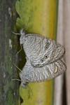 Nymphalidae - Satyrinae - Ypthima stellera - 13 mm environ - Lucena - 31.1.14