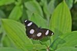 Nymphalidae - Nymphalinae - Hypolimnas misippus - Mâle - 40 mm envergure - Palawan - 8.2.14