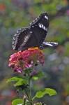 Nymphalidae - Nymphalinae - Hypolimnas bolina - Femelle - Palawan - 8.2.14