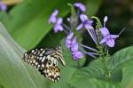 Papilionidae - Papilioninae - Papilio demoleus - 20 mm environ - Palawan - 8.2.14