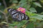 Nymphalidae - Danainae - Danaus melanippus - 15 mm environ - Palawan - 8.2.14