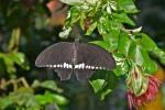 Papilionidae - Papilioninae - Menelaides polytes - Mâle - Palawan - 11.2.14