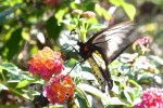Papilionidae - Papilioninae - Troides rhadamantus - Femelle - Palawan - 11.2.14
