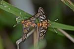 Erebidae - Arctiinae - Syntomini - 16 mm environ - Lucena - 7.3.14