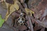 Pachyrhynchus reticulatus - 12 à 13 mm - Bulusan lake - 12.1.16