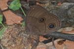 Nymphalidae - Morphinae - Faunis phaon - Femelle - 70 mm envergure - Bulusan lake - 7.1.16