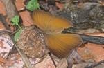 Nymphalidae - Morphinae - Faunis phaon - 70 mm envergure - Bulusan lake - 7.1.16