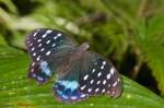 Nymphalidae - Limenitidinae - Lexias satrapes - Mâle - 110 mm envergure - Bulusan lake - 14.1.16