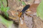 Pompilidae - Pepsinae - 25 mm environ - Bulusan lake - 17.1.16