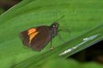 Hesperiidae - Kurothaialos rubecula - 25 mm envergure ? - Bulusan lake - 17.1.16