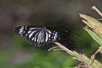 Nymphalidae -Danainae -  Danaus melanippus - 60 mm envergure - Bulusan lake - 19.1.16
