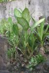 La plante hôte des 2 chenilles précédentes Dienfenbachia