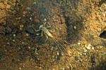 Ephemeroptera - larve - 15 mm environ - Sagada - 10.12.13