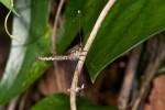 Ascalaphidae ? - 35 à 40 mm - Ile de Mindoro - 25.3.15