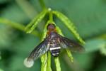 Bombylidae - Ligyra tantalus ? - 12 mm - Romblon - 25.6.16
