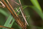 Mantidae - 40 mm - Cajidiocan - Sibuyan - 27.6.16 - 11.30 AM