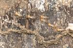 Termitidae - 3 mm - Cajidiocan - 27.6.16