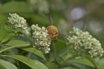 Apidae ? - 25 à 27 mm - Sibuyan - 28.6.16