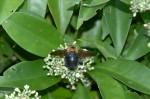 Hymenoptera - 20 mm environ - Cajidiocacn - Sibuyan - 28.6.16