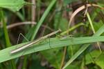 Mantidae - Tenodera - 80 à 90 mm - Cajidiocan - Sibuyan - 28.6.16 - 9.50 AM