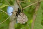 Vespidae - Polistes tenebricosus ou philippinensis25 mm - Cajidiocan - 29.6.16