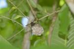 Vespidae - Polistes tenebricosus ou philippinensis - 25 mm - Cajidiocan - 29.6.16